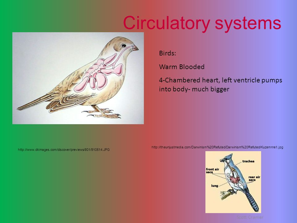 Circulatory systems Birds: Warm Blooded