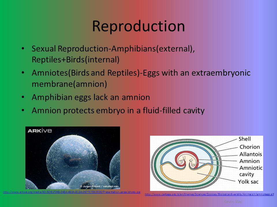 Reproduction Sexual Reproduction-Amphibians(external), Reptiles+Birds(internal)