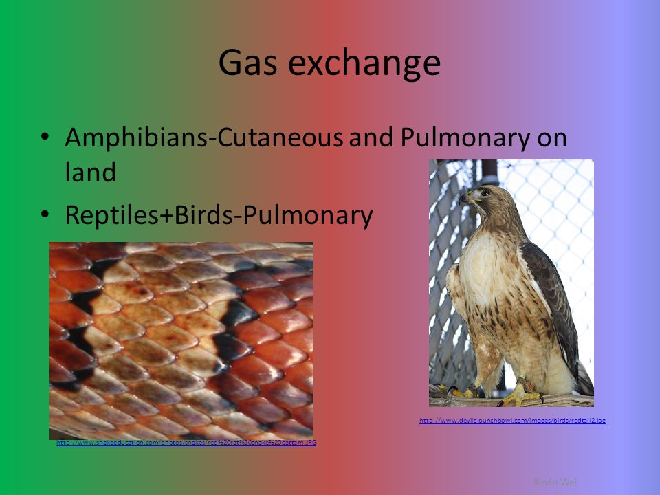 Gas exchange Amphibians-Cutaneous and Pulmonary on land