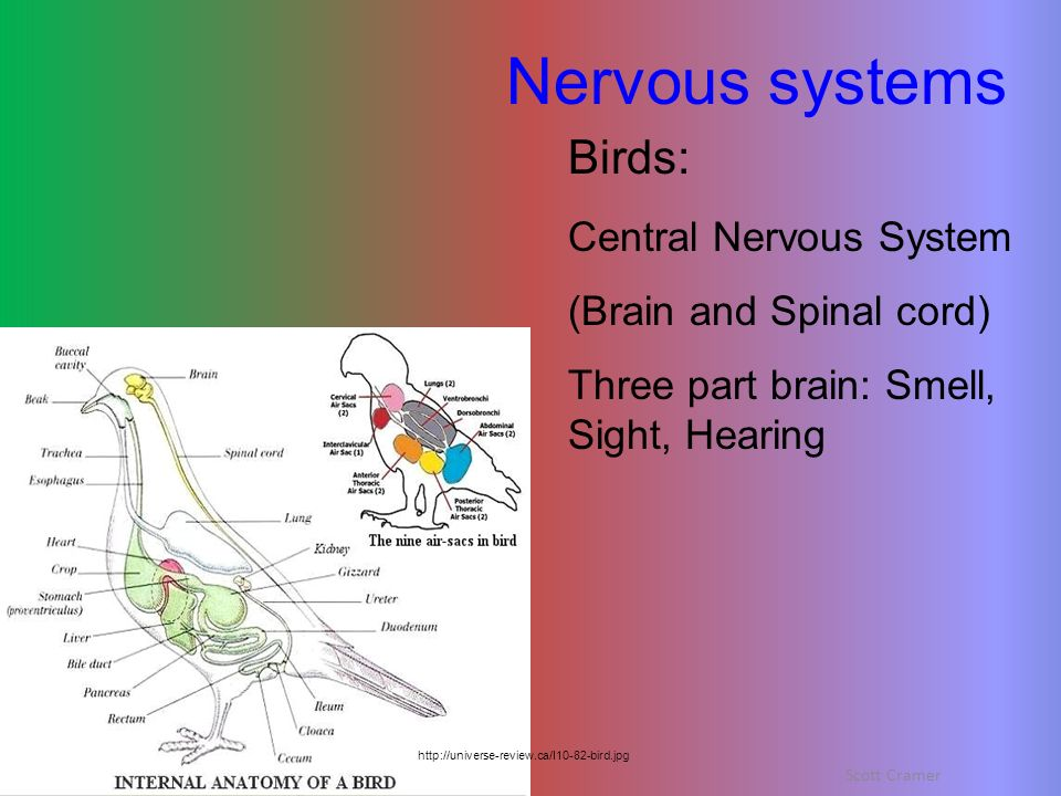 Nervous systems Birds: Central Nervous System (Brain and Spinal cord)