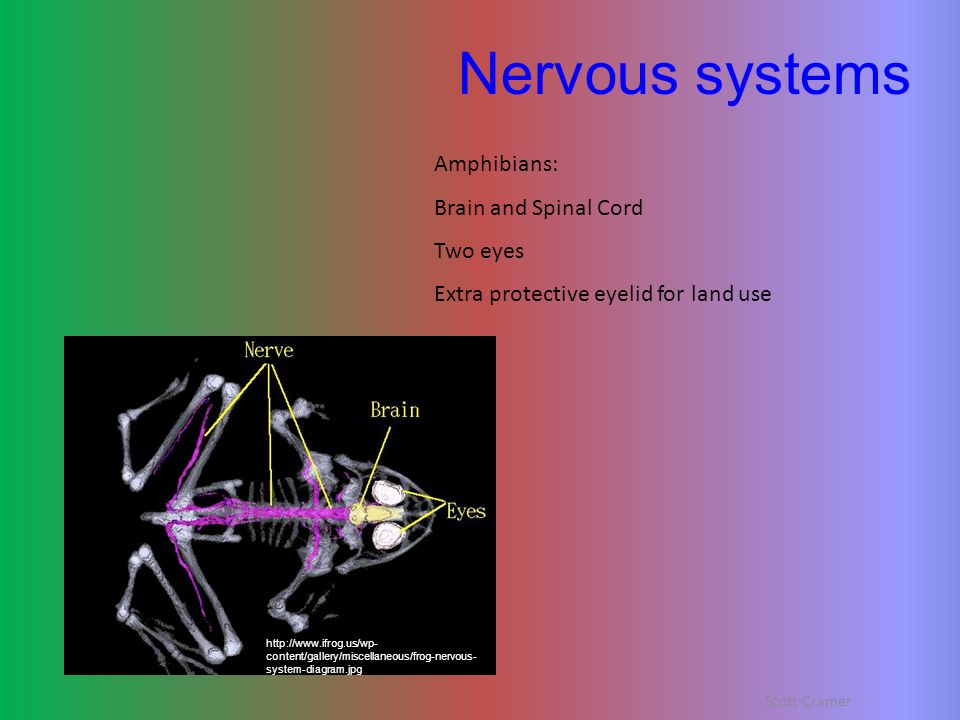 Nervous systems Amphibians: Brain and Spinal Cord Two eyes