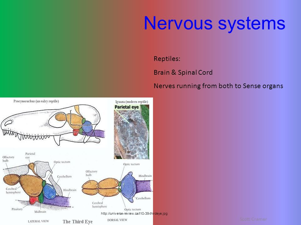Nervous systems Reptiles: Brain & Spinal Cord