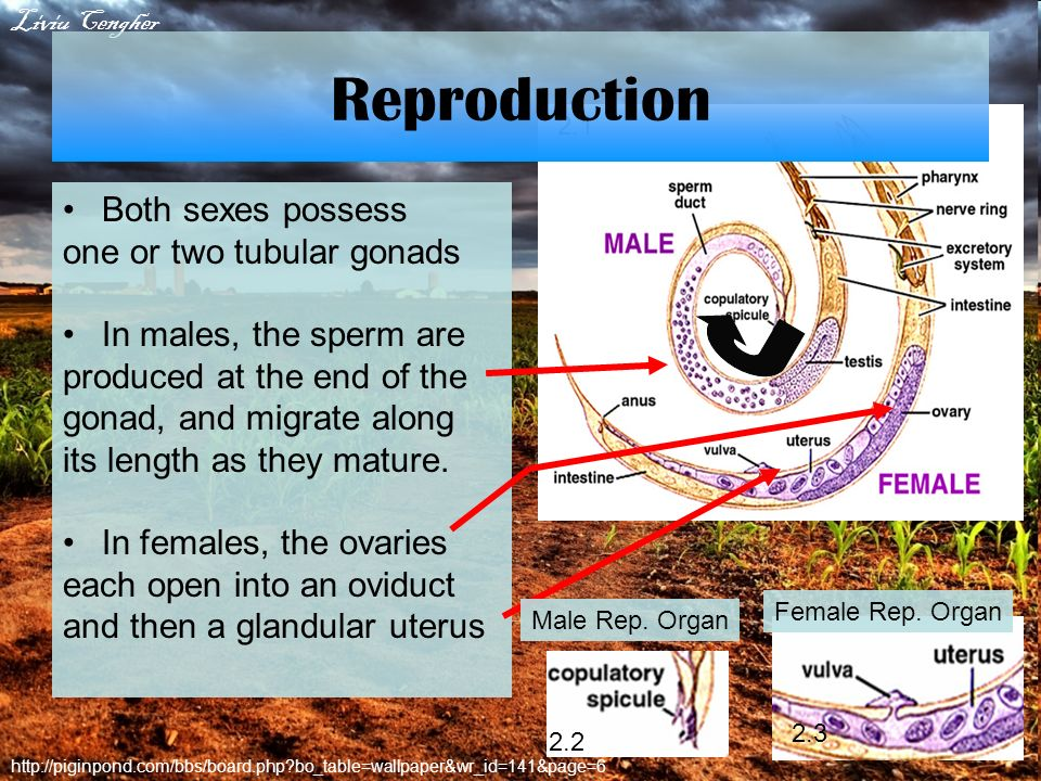 Reproduction Both sexes possess one or two tubular gonads