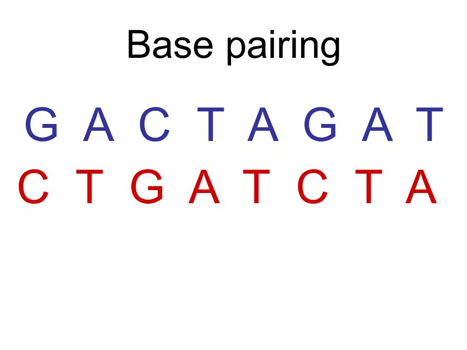Base pairing G A C T A G A T C T G A T C T A