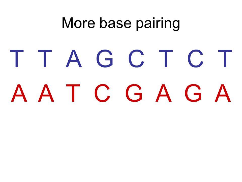 More base pairing T T A G C T C T A A T C G A G A