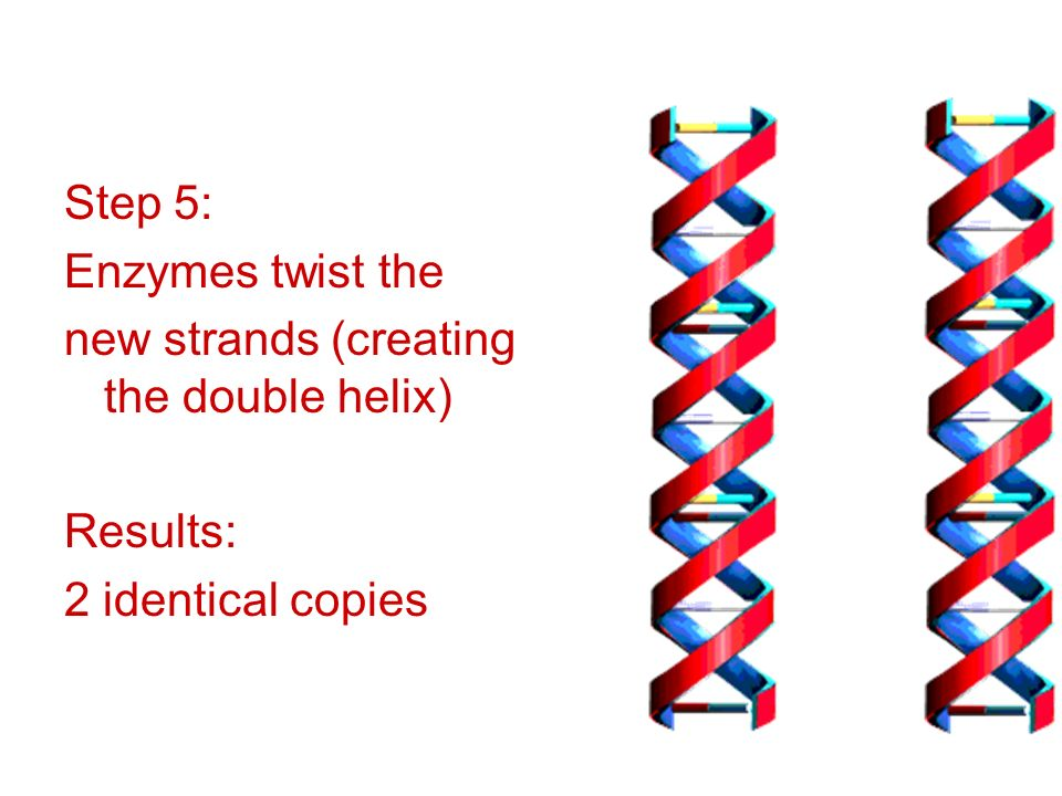 Step 5: Enzymes twist the new strands (creating the double helix) Results: 2 identical copies