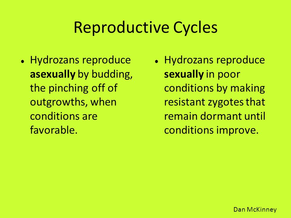 Reproductive Cycles Hydrozans reproduce asexually by budding, the pinching off of outgrowths, when conditions are favorable.
