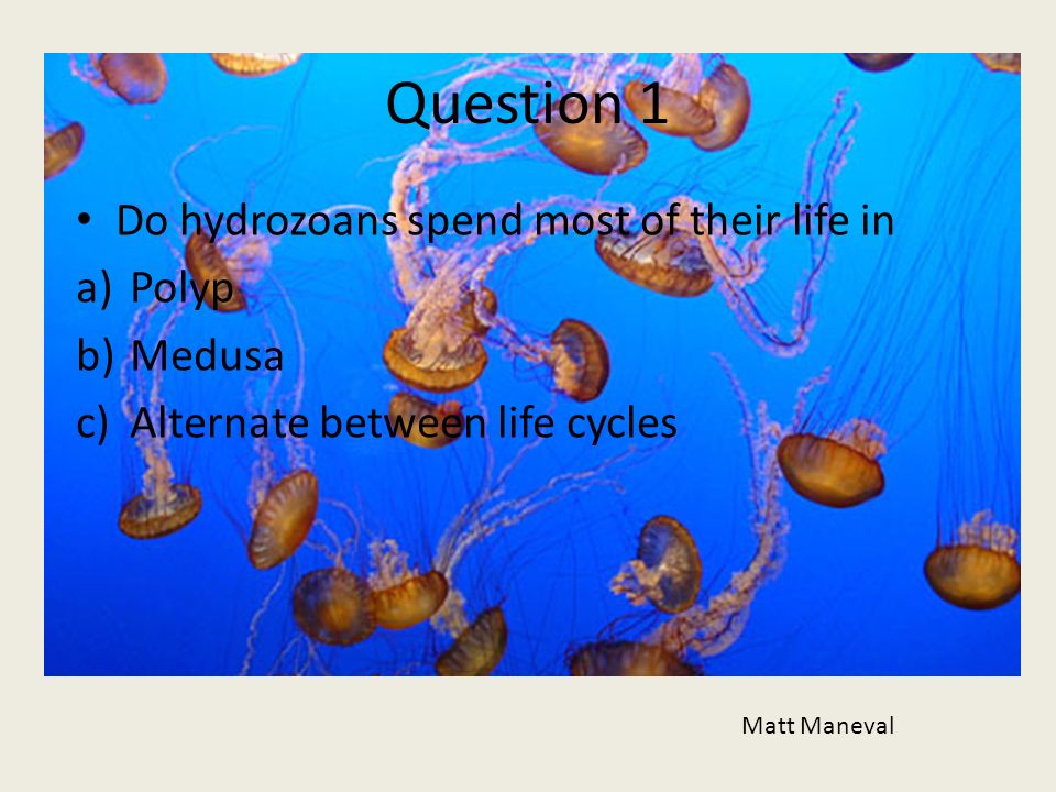 Question 1 Do hydrozoans spend most of their life in Polyp Medusa