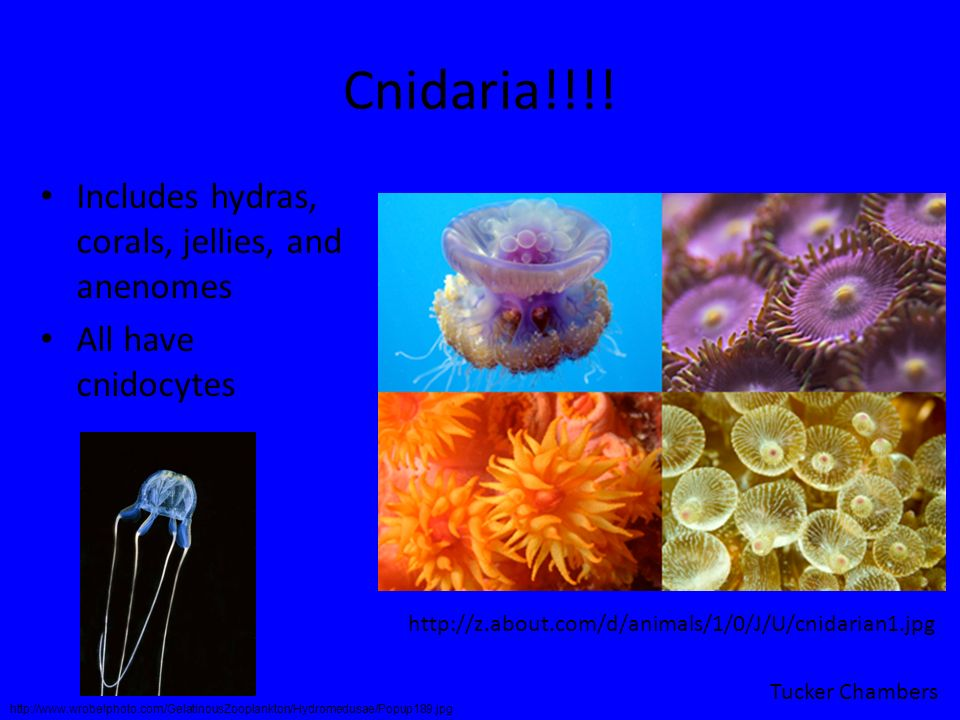 Cnidaria!!!! Includes hydras, corals, jellies, and anenomes
