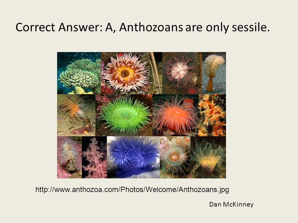 Correct Answer: A, Anthozoans are only sessile.