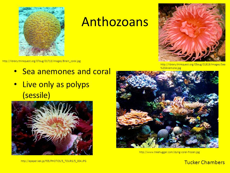 Anthozoans Sea anemones and coral Live only as polyps (sessile)