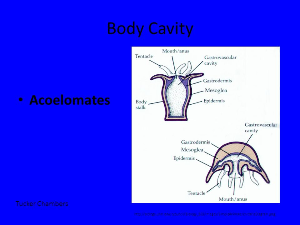 Body Cavity Acoelomates Tucker Chambers