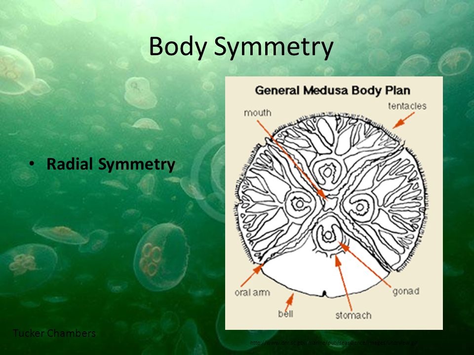 Body Symmetry Radial Symmetry Tucker Chambers