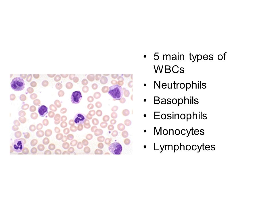 5 main types of WBCs Neutrophils Basophils Eosinophils Monocytes Lymphocytes