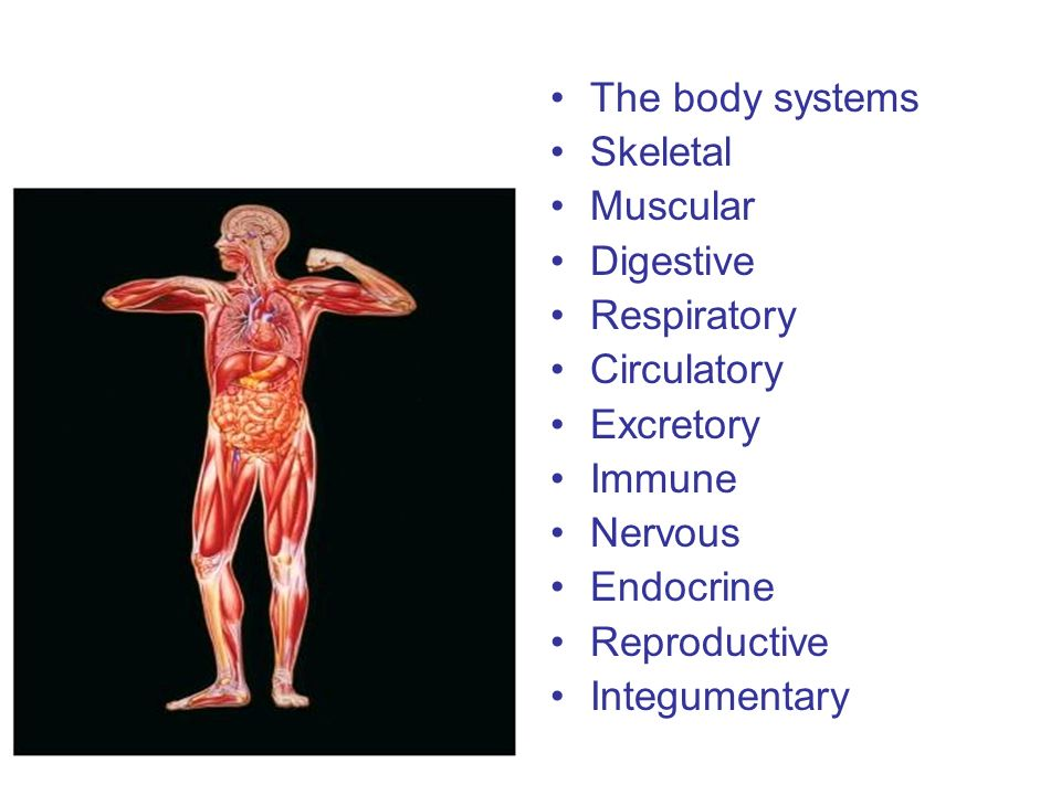 The body systems Skeletal. Muscular. Digestive. Respiratory. Circulatory. Excretory. Immune. Nervous.