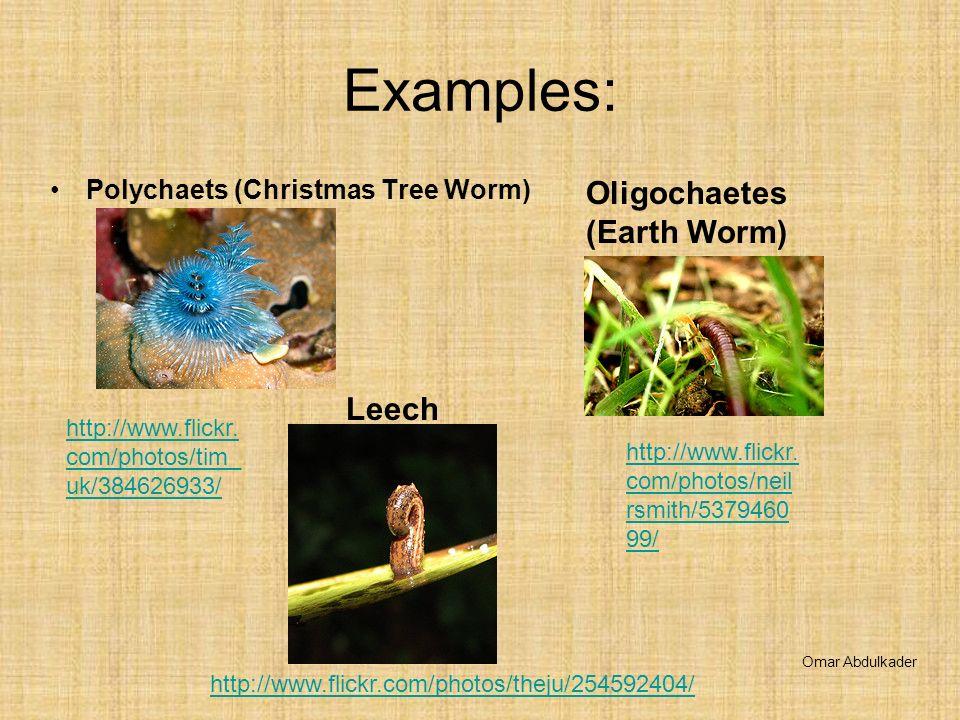 Examples: Oligochaetes (Earth Worm) Leech