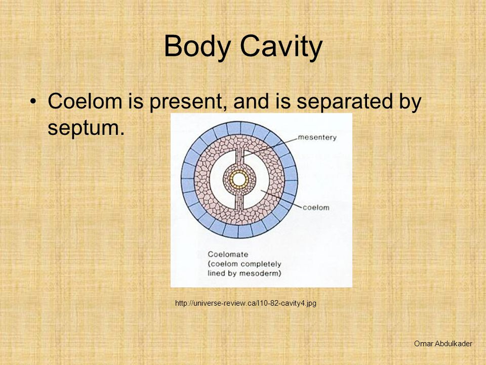 Body Cavity Coelom is present, and is separated by septum.