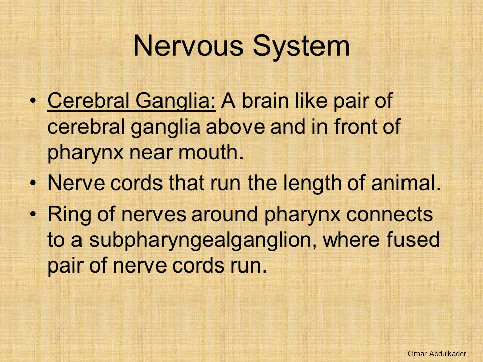 Nervous System Cerebral Ganglia: A brain like pair of cerebral ganglia above and in front of pharynx near mouth.