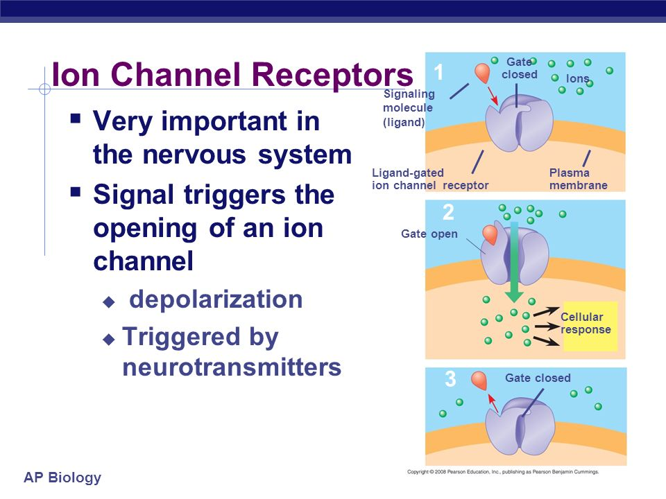 Ion Channel Receptors Very important in the nervous system