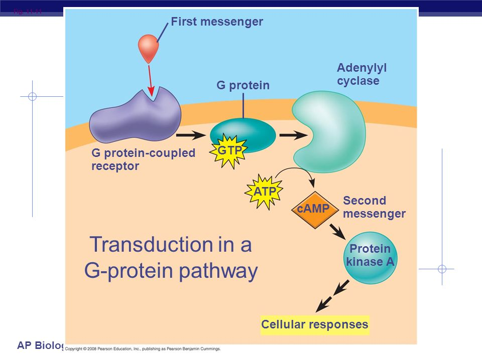 Transduction in a G-protein pathway
