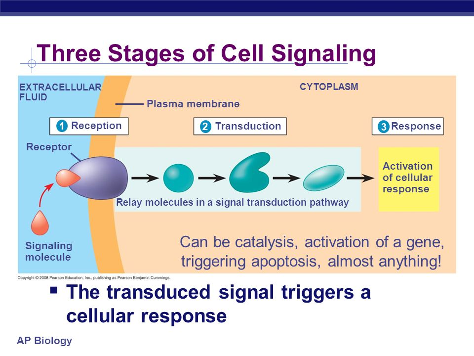 Three Stages of Cell Signaling