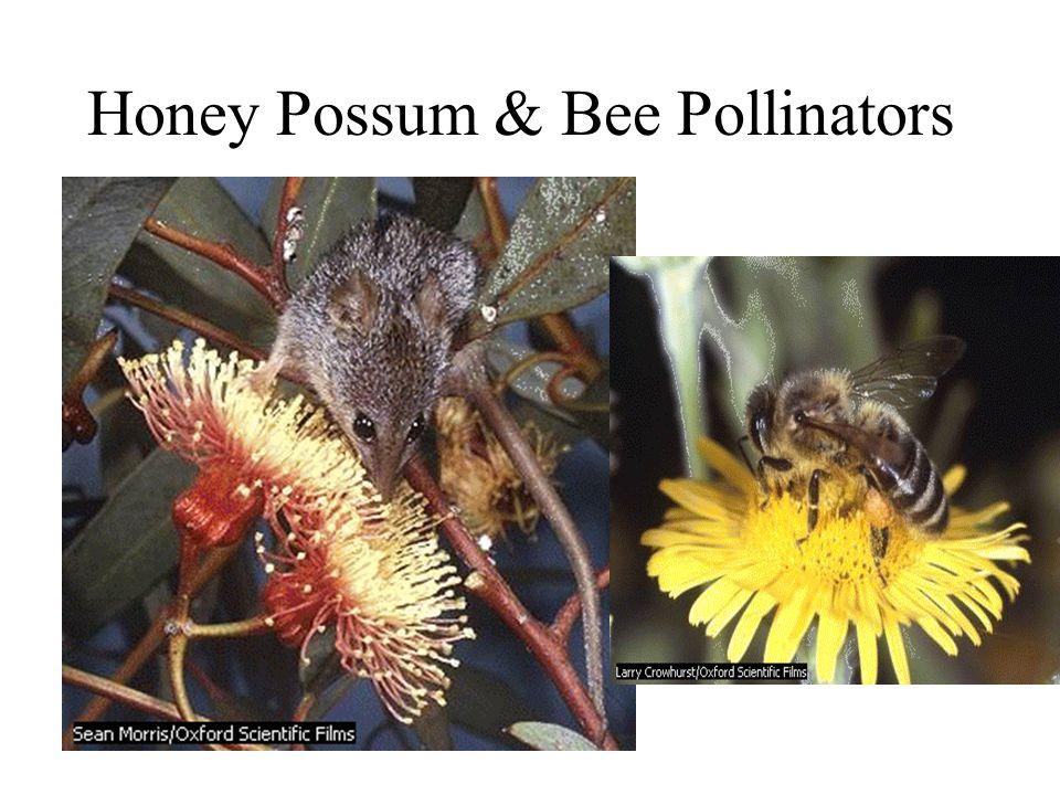 Honey Possum & Bee Pollinators