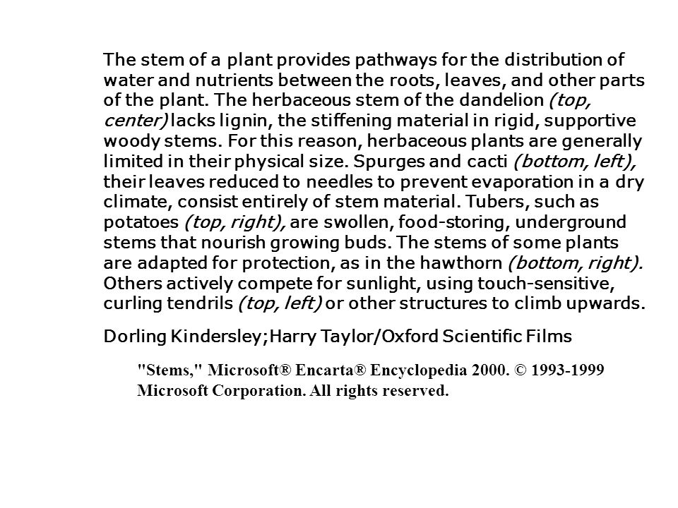 The stem of a plant provides pathways for the distribution of water and nutrients between the roots, leaves, and other parts of the plant. The herbaceous stem of the dandelion (top, center) lacks lignin, the stiffening material in rigid, supportive woody stems. For this reason, herbaceous plants are generally limited in their physical size. Spurges and cacti (bottom, left), their leaves reduced to needles to prevent evaporation in a dry climate, consist entirely of stem material. Tubers, such as potatoes (top, right), are swollen, food-storing, underground stems that nourish growing buds. The stems of some plants are adapted for protection, as in the hawthorn (bottom, right). Others actively compete for sunlight, using touch-sensitive, curling tendrils (top, left) or other structures to climb upwards.