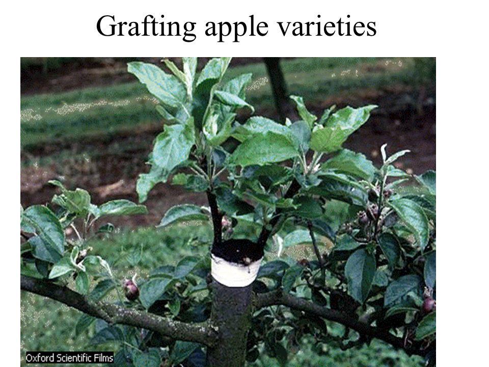 Grafting apple varieties