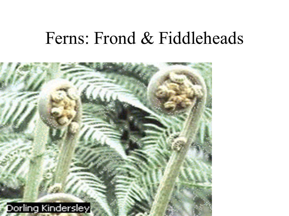 Ferns: Frond & Fiddleheads