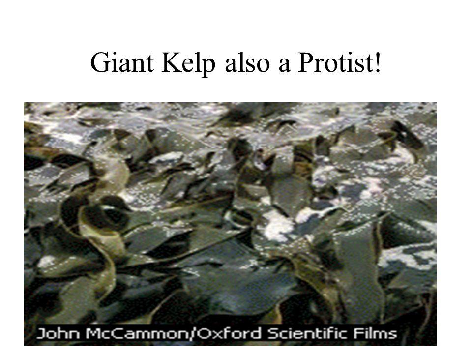 Giant Kelp also a Protist!