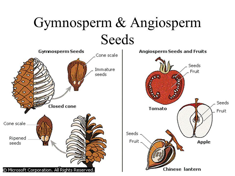 Gymnosperm & Angiosperm Seeds