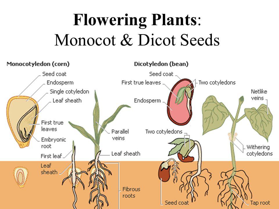 Flowering Plants: Monocot & Dicot Seeds