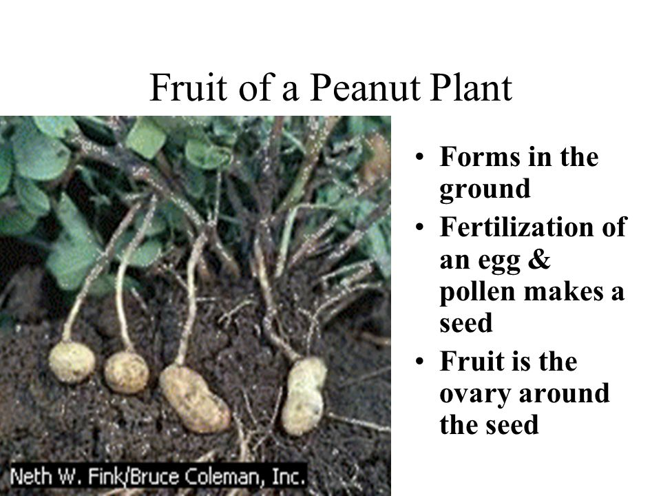 Fruit of a Peanut Plant Forms in the ground