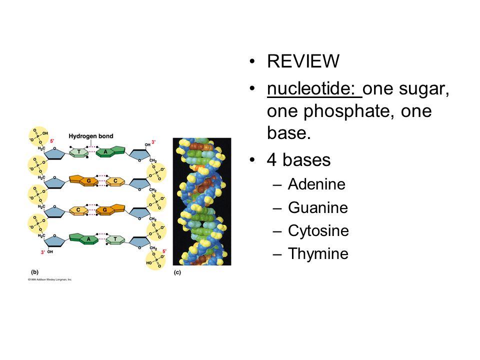 nucleotide: one sugar, one phosphate, one base.