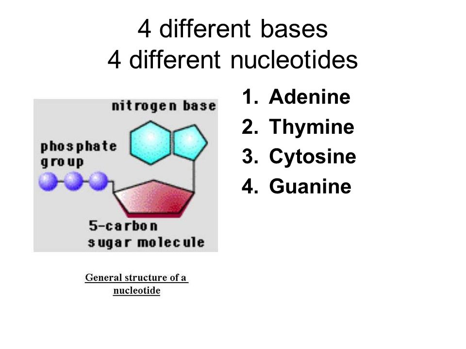 4 different bases 4 different nucleotides