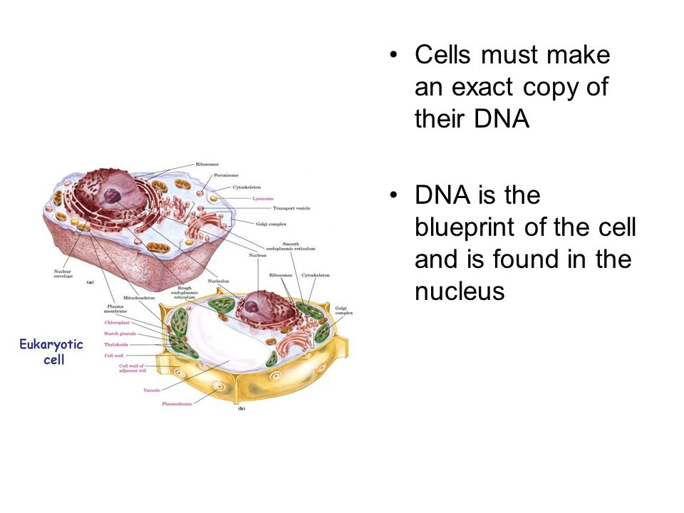 Cells must make an exact copy of their DNA