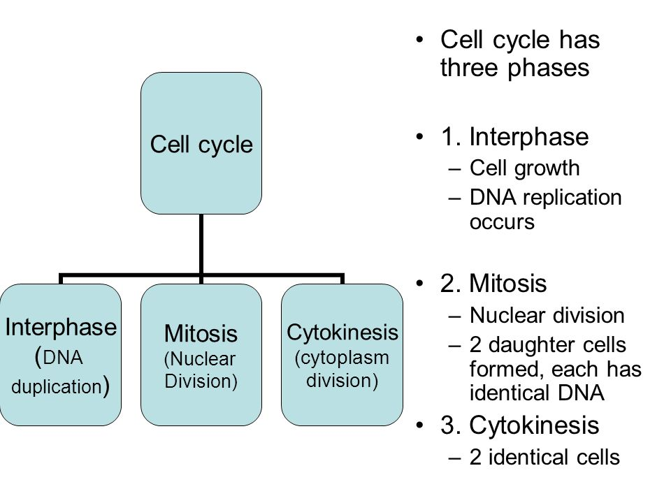 Cell cycle has three phases