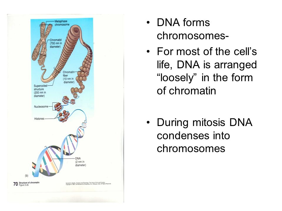 DNA forms chromosomes-