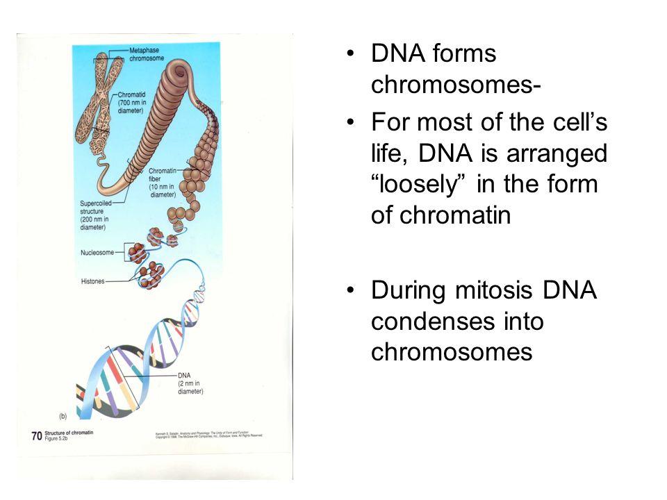 DNA forms chromosomes-