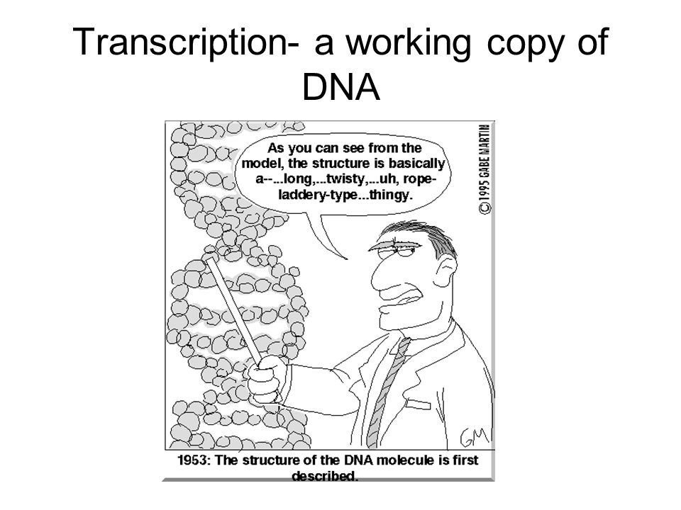 Transcription- a working copy of DNA