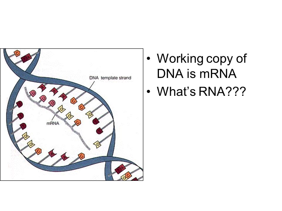 Working copy of DNA is mRNA