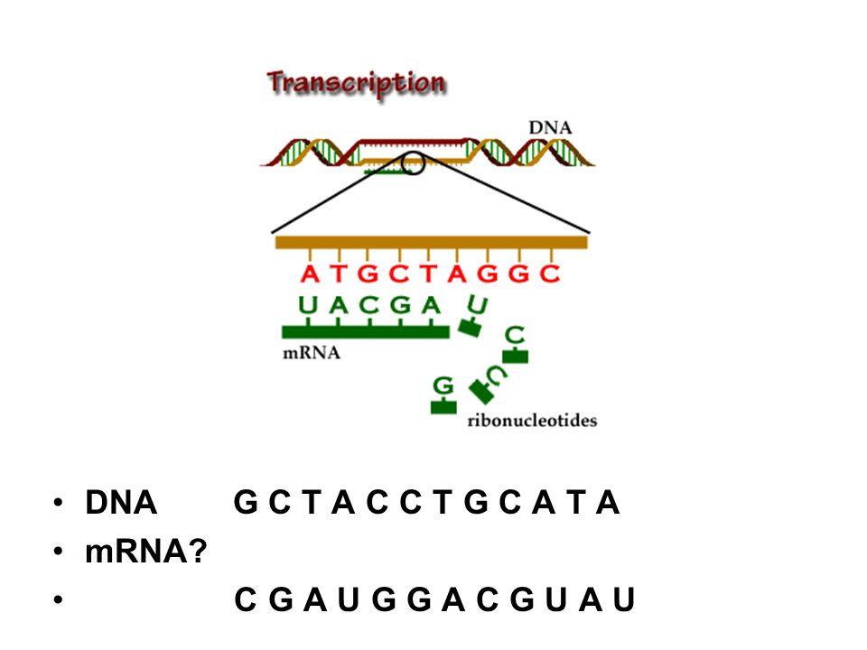 DNA G C T A C C T G C A T A mRNA C G A U G G A C G U A U