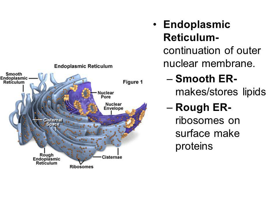 Endoplasmic Reticulum- continuation of outer nuclear membrane.