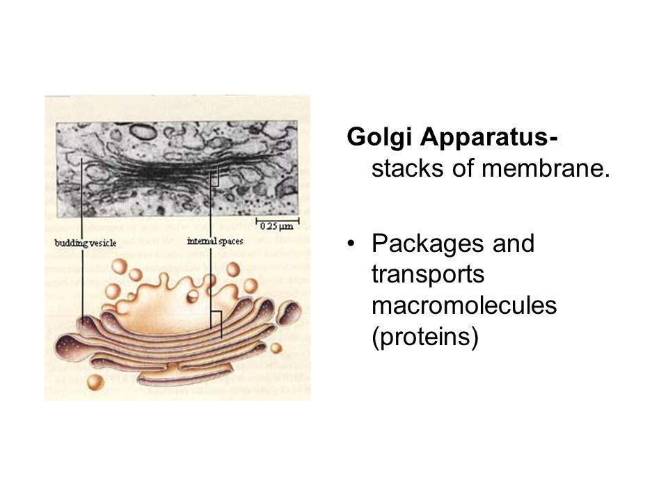 Golgi Apparatus- stacks of membrane.