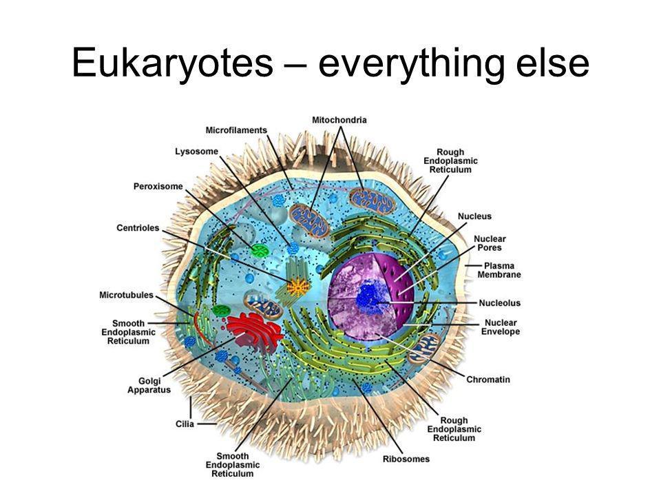 Eukaryotes – everything else