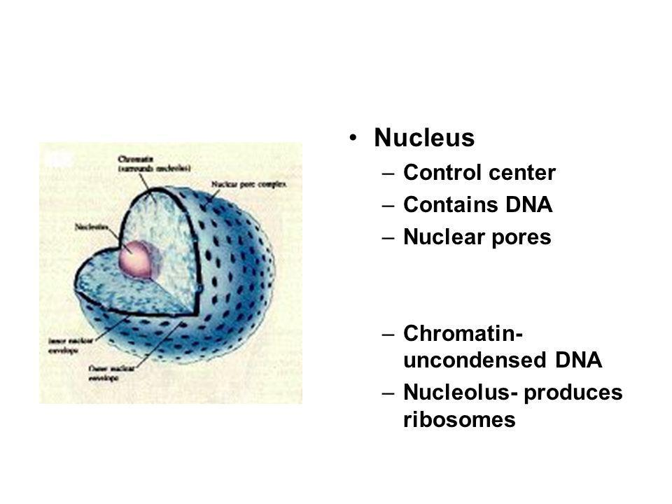 Nucleus Control center Contains DNA Nuclear pores
