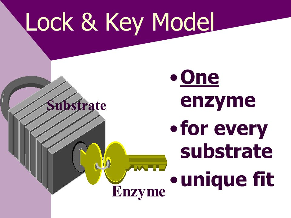 Lock & Key Model One enzyme for every substrate unique fit Enzyme