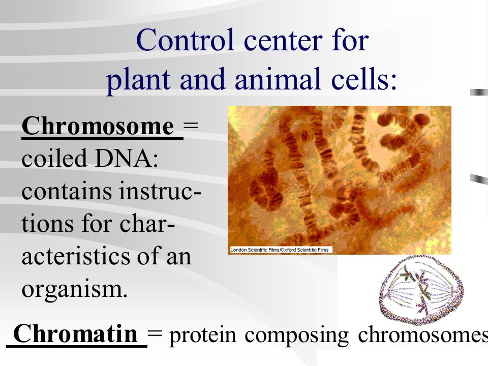 Control center for plant and animal cells: