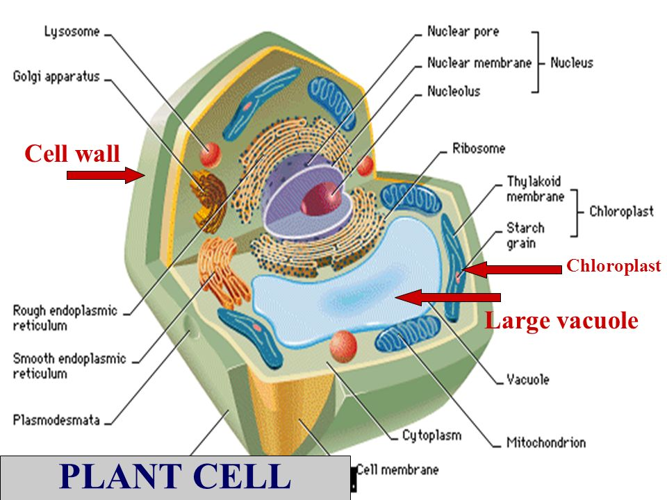 Cell wall Chloroplast Large vacuole PLANT CELL