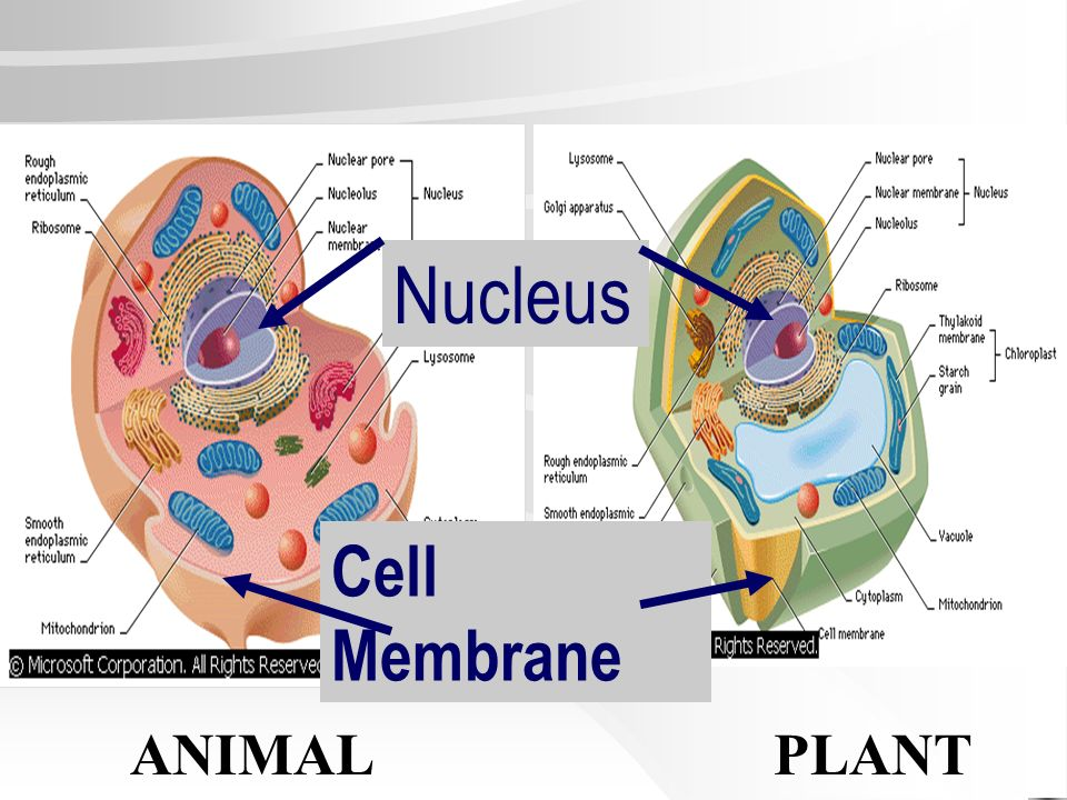 Nucleus Cell Membrane ANIMAL PLANT